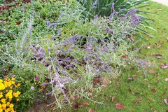 Russian sage plants in Bolingbrook, Illinois