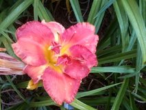 """Daylily, """"King's Point"""" in Byron, Georgia"""