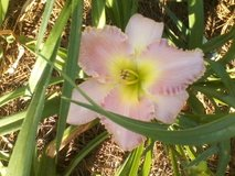"Daylily, ""American Original"" in Warner Robins, Georgia"