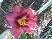 "Daylily, ""Mort's Magic"" in Warner Robins, Georgia"