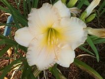 "Daylily, ""Queen's Gift"" in Warner Robins, Georgia"