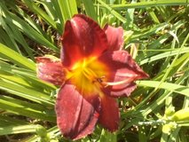 "Daylily, ""War March"" in Warner Robins, Georgia"